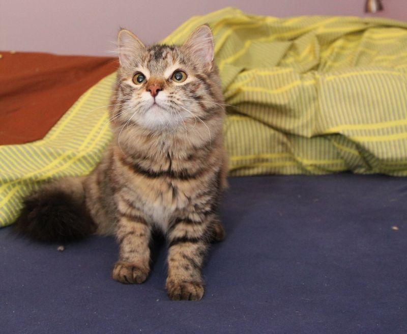 Do našej rodiny zavítala mačička Octavia z jednej z najstarších chovných  staníc sibírskych mačiek v Rusku Chingy Tura. prináša k nám veľmi zaujímavý  ... 2a9fc6ff511