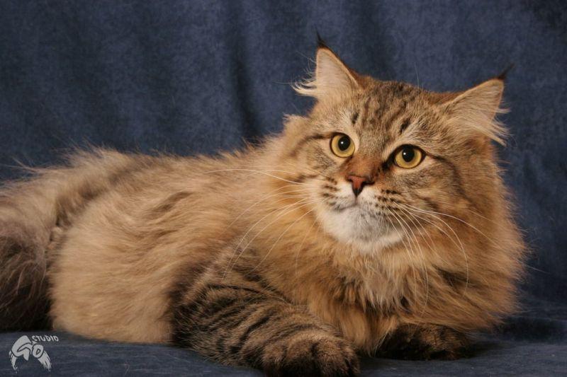 Felis Felicis - sibírska mačka 6fc012b0c9d